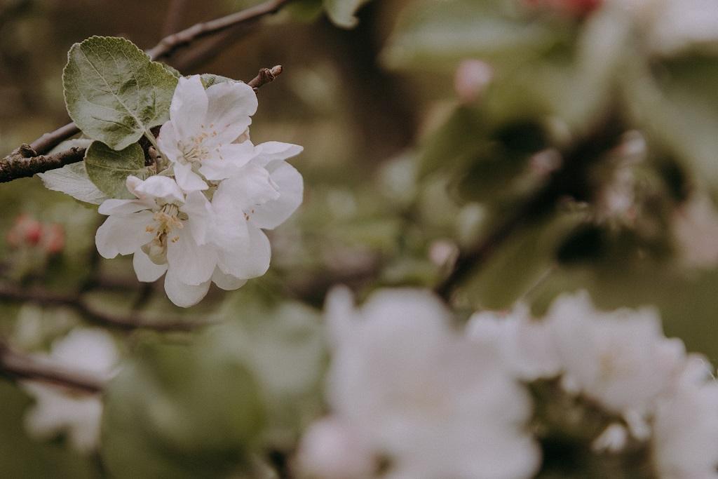 sesja narzeczenska jaworze bielowicko 1 - Natalia i Adrian - sesja w sadzie i rzepaku